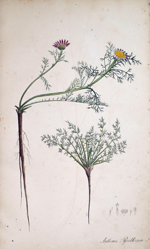 Bertramwurzel Anthemis Pyrethrum, 1828