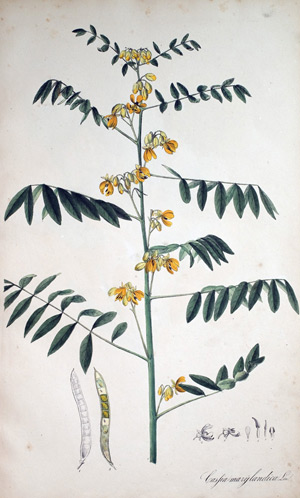 Cassie Cassia marylandica, 1828