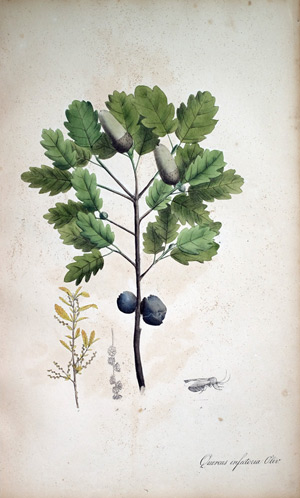 Galläpfel-Eiche Quercus infectoria, 1828