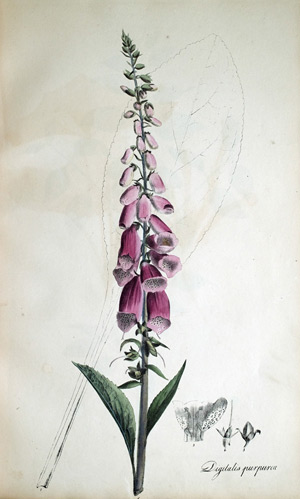 Fingerhut Digitalis purpurea